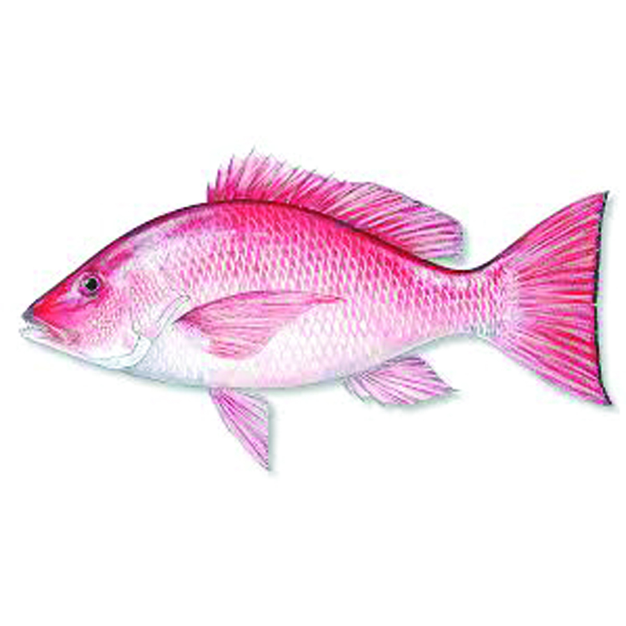 Red snapper new york fish for New york state fish